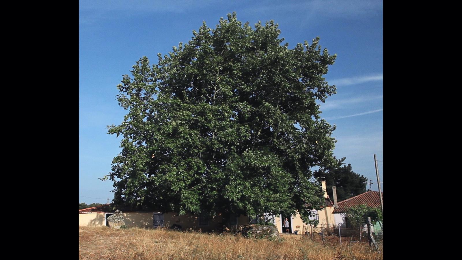 Mulher como árvore